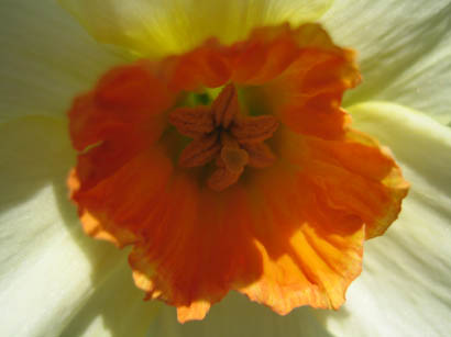 Display Garden daffodil