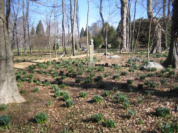 Bosquet Daffodils 4-9-07