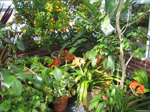 Clivias and Calamondin Orange