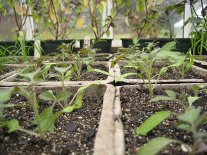 Sungold tomato seedlings