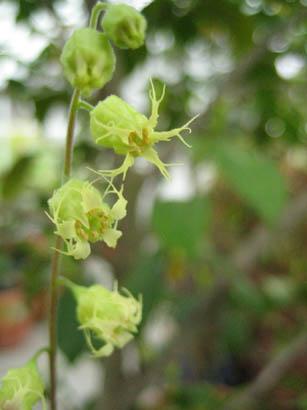 Tellima grandiflora 'Purpurteppich' (Fringe cups)