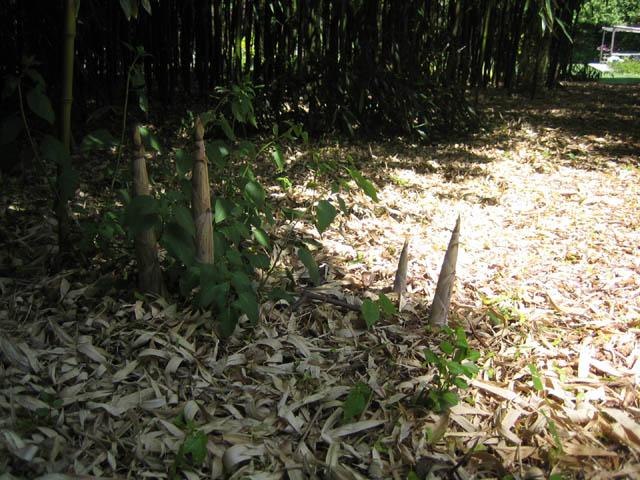 Phyllostachys aureosulcata (Yellow groove bamboo)