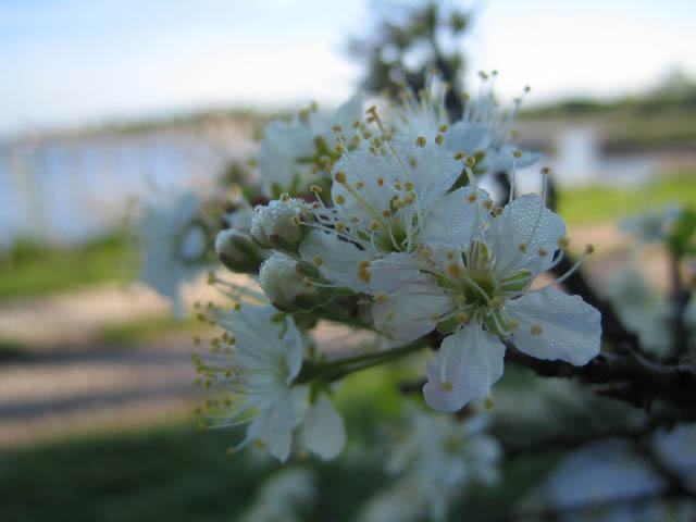 Prunus maritima (Beach plum)
