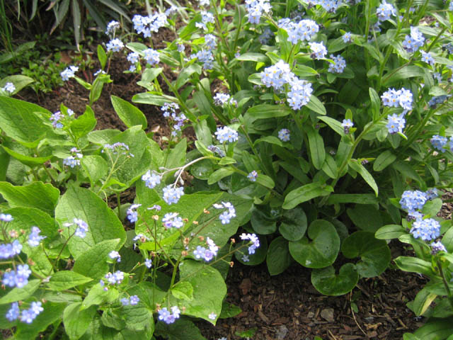 Brunnera on the left, Myosotis (coming up through the ginger) on the right