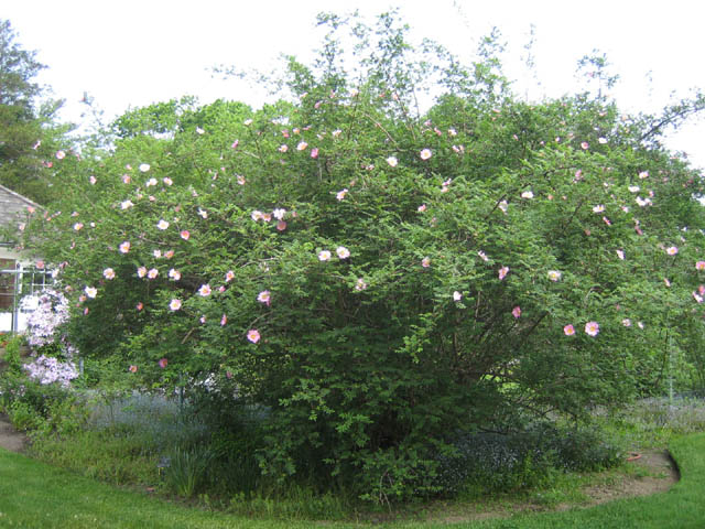 Rosa roxburghii (Chestnut rose)