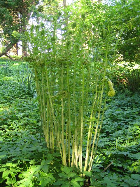 Osmunda cinnamomea 5-21-07