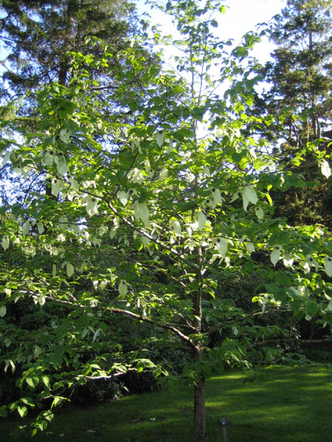 Davidia involucrata (Dove Tree)