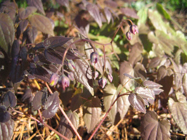 Epimedium (barrenwort) in the Rock Garden