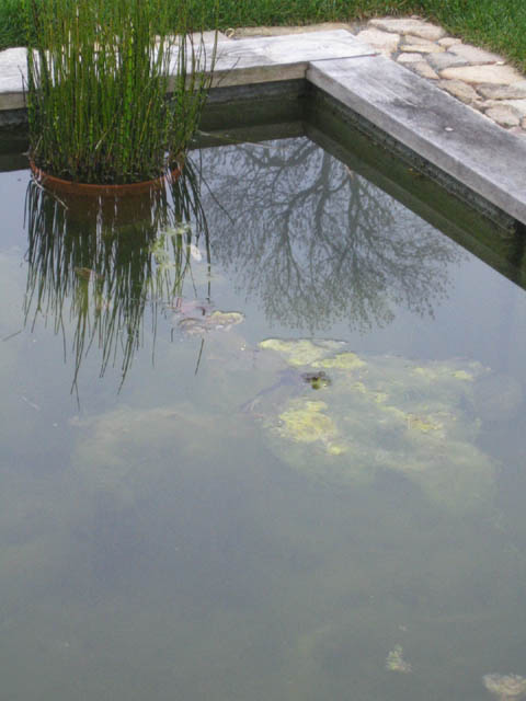 Our frog in the cement pond (before the clean-out!)