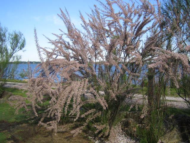 Tamarix ramosissima 5-29-07