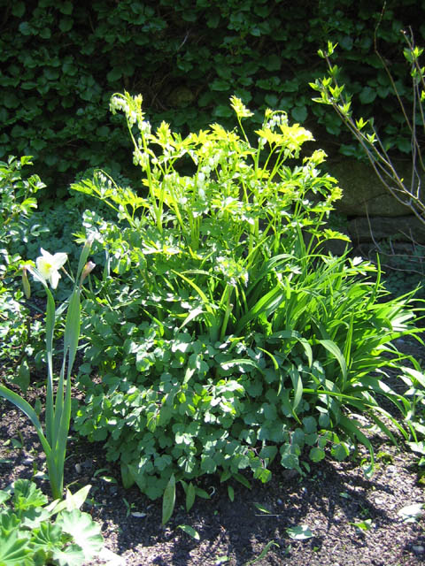 Tri-perennial - Dicentra, Thalictrum and Hemerocallis