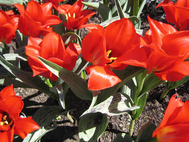 Tulipa 'Princess Charmante' 5-3-07