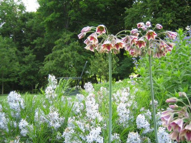 Allium bulgaricum and Amsonia hubrectii