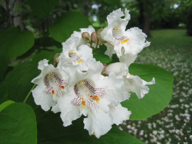 Catalpa speciosa detail