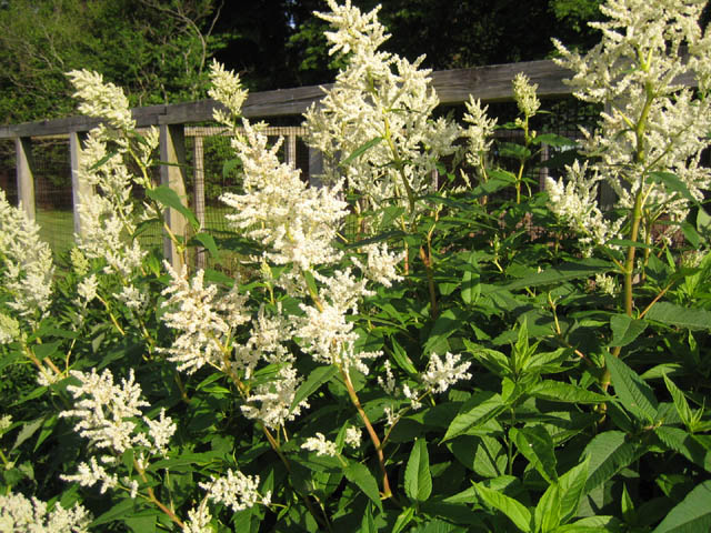 Persicaria or Polygonum