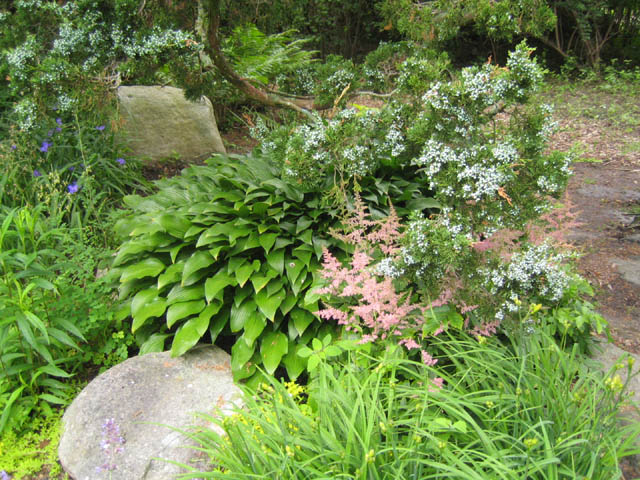Juniper, Hosta, Astilbe combo in the Rock Garden