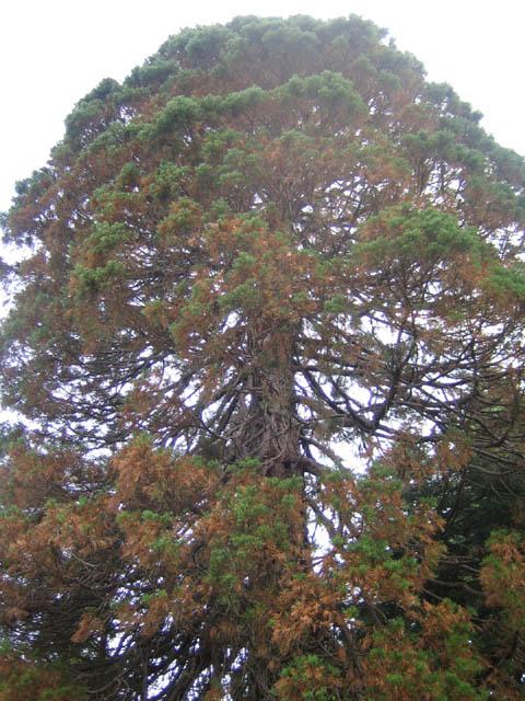 Sequoiadendron giganteum 5-31-07