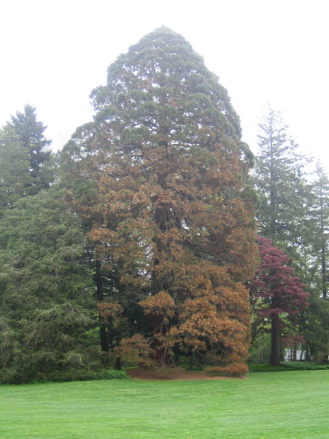 the Sequoiadendron giganteum in early May