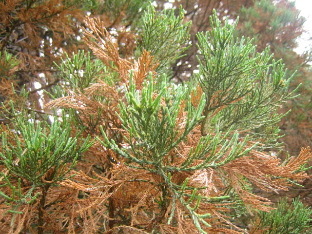 Sequoiadendron giganteum - new growth