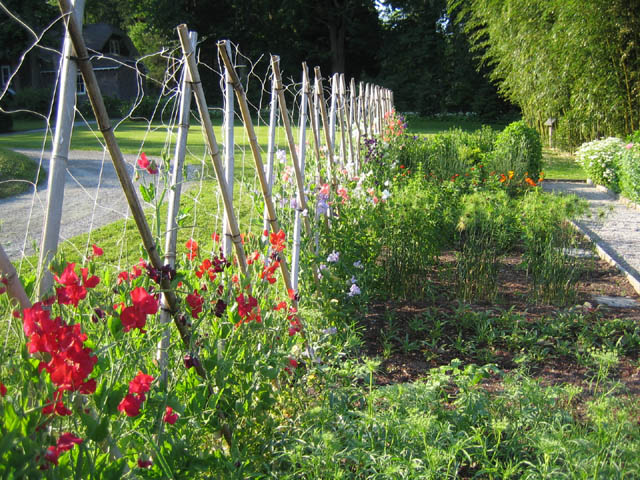 The Sweet Pea fence 6-25-07