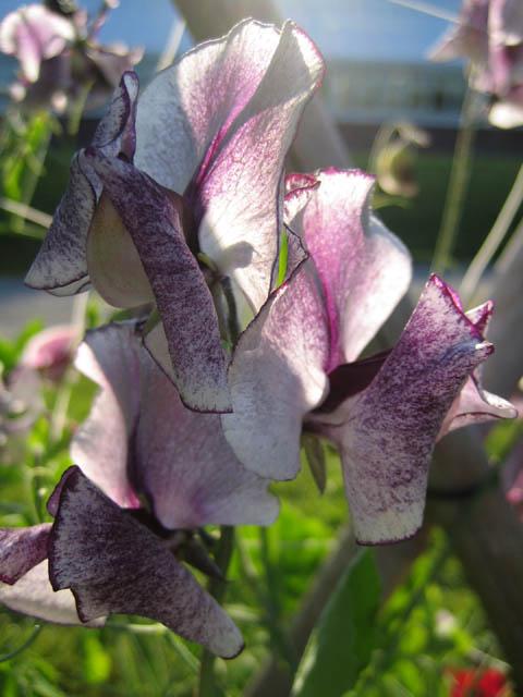 Sweet pea — Lathyrus odoratus 'Nimbus'
