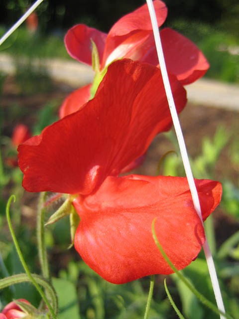 Sweet pea 'Red Arrow'