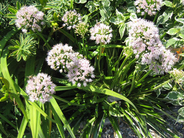 Allium 'Pelham Hill' and bees (plus one wasp dashing out of the frame)