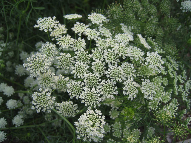 Ammi majus (False Queen Anne's Lace)