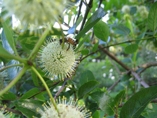 a bee on the Button Bush (Cepalanthus occidentalis)