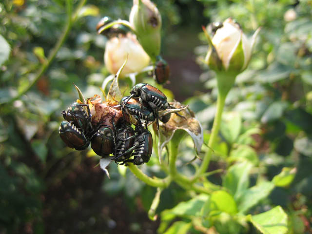 Japanese beetles right before the lot of them went for a sudsy swim