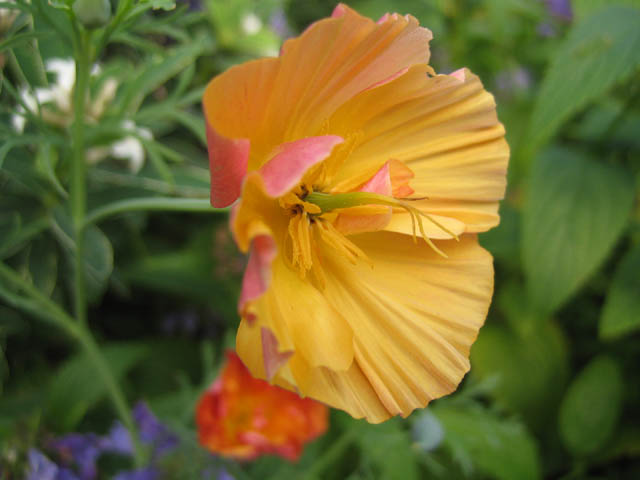 Eschscholzia californica 'Apricot Flambeau' (California Poppy)