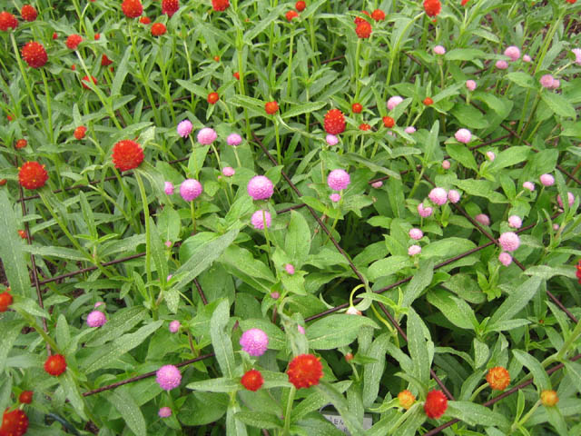 Gomphrena 'Woodcreek Red, Orange and Rose'  (Globe amaranth)