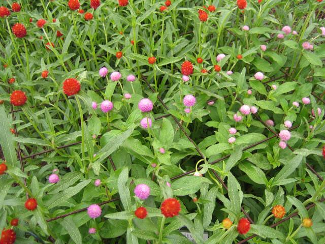 Gomphrena 'Woodcreek Red, Orange and Rose'  (Globe amaranth)