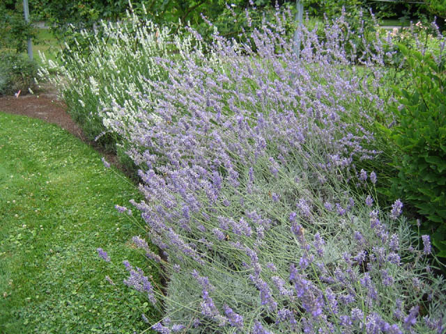 Lavenders in the Rose Garden (Lavandula x intermedia 'Super' and 'White Spikes')