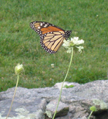 Monarch in the North Garden