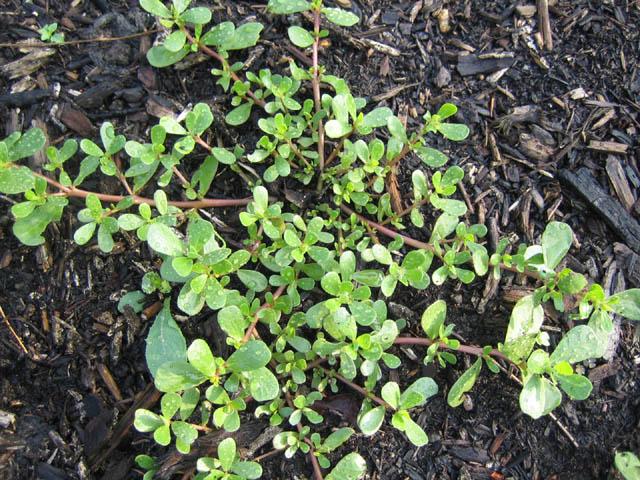"propagatious Portulaca oleracea (Purslane or ""Pusley"")"