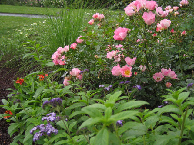 Rose Garden combo:  Rosa 'Carefree Delight', Heliotrope and Zinnia 'Profusion' Deep Apricot