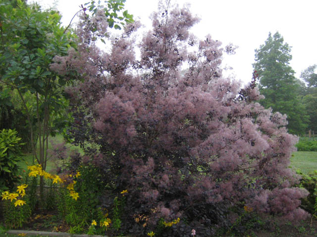 Cotinus coggygria decorated by fog