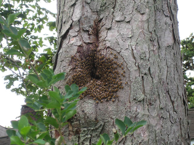 The wild hive by the greenhouse