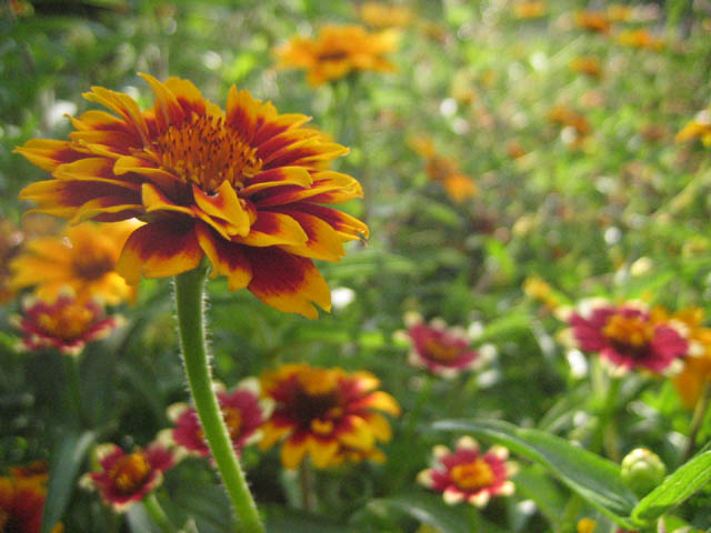 Zinnia 'Persian Carpet'