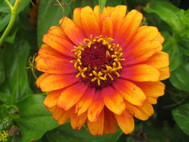 Zinnia 'Zowie' breaks rules all by itself