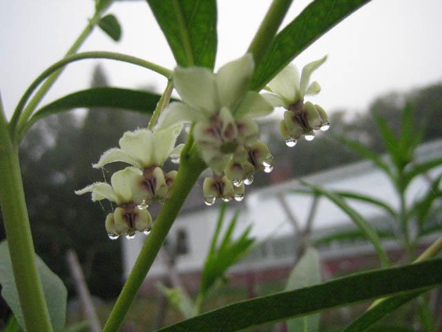 Asclepias physocarpa 'Oscar' a.k.a. Gomphocarpus physocarpus 'Hairy Balls'