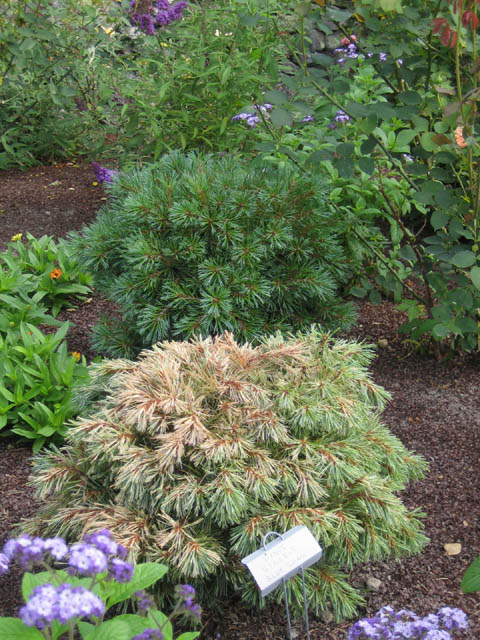 Pinus strobus 'Blue Shag' — one healthy, one not.