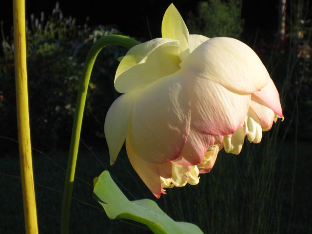 The last Lotus bloom?  (Nelumbo 'Mrs. Perry D. Slocum')