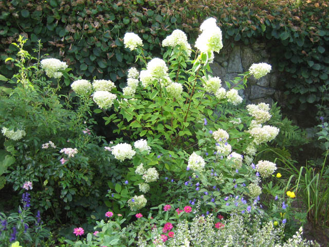 Hydrangea 'Lime Light' and the North Star