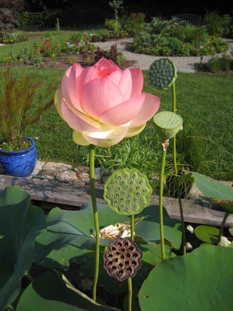 Lotus (Nelumbo 'Mrs. Perry D. Slocum') 8-2-07