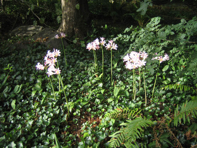 Lycoris squamigera (Resurrection Lily)