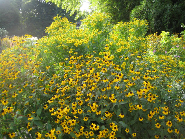 Rudbeckia triloba and Helenium 'Butterpat'