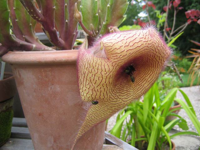 Stapelia gigantea this afternoon - open and stinking!