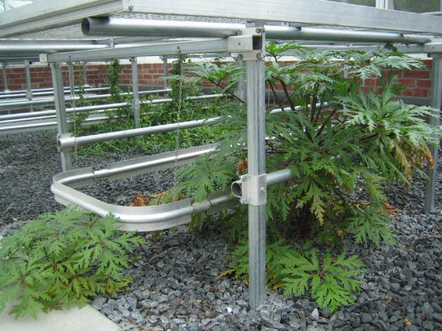 Greenhouse garden - Geranium maderense
